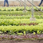 Developing a Sustainable Specialty Crop Greenhouse Industry in the Northeast