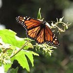Monarchs: Conservation and Controversy