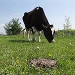 Biodegradation of Cattle Manure Using Fly Larvae