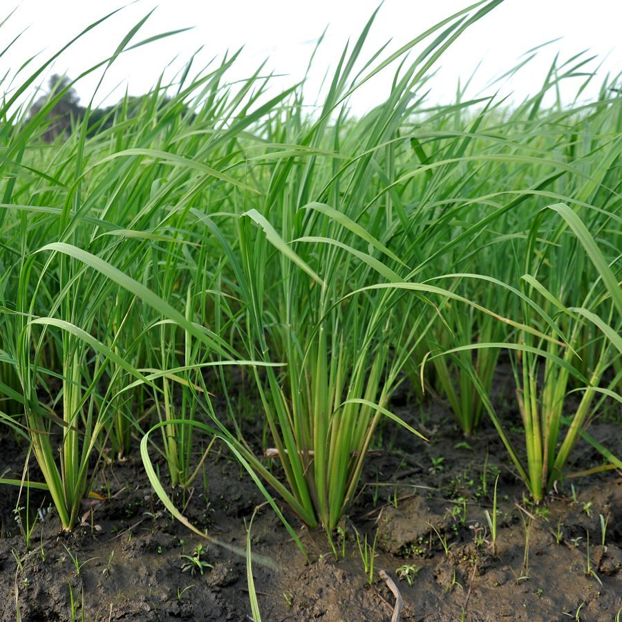 Sustainable Rice: Less Water, Less Arsenic