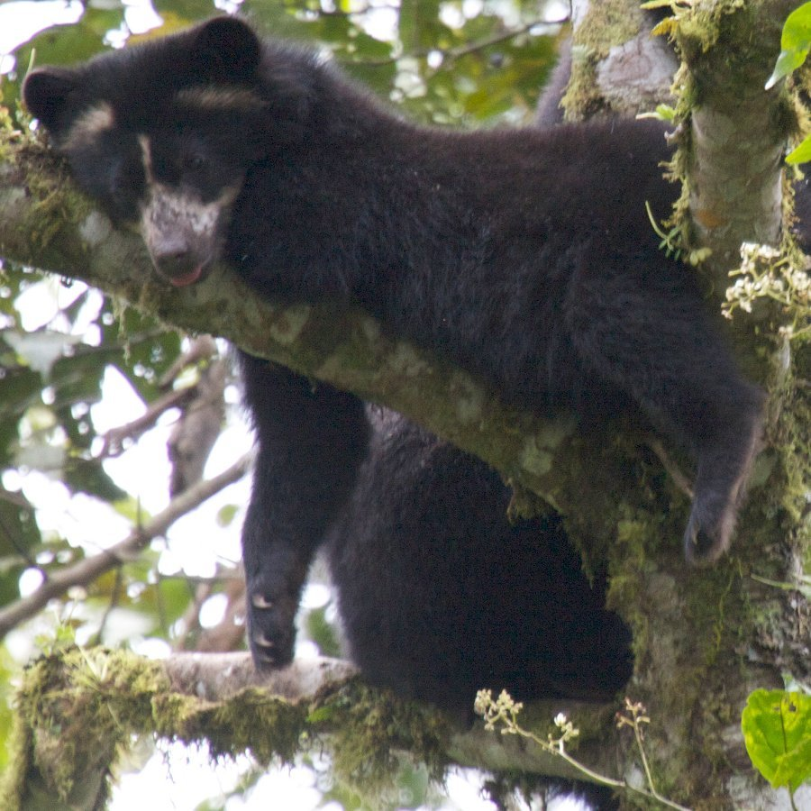 Conserving Ecuador's Forests for Bears and Biodiversity