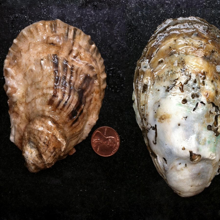 Reviving Oysters