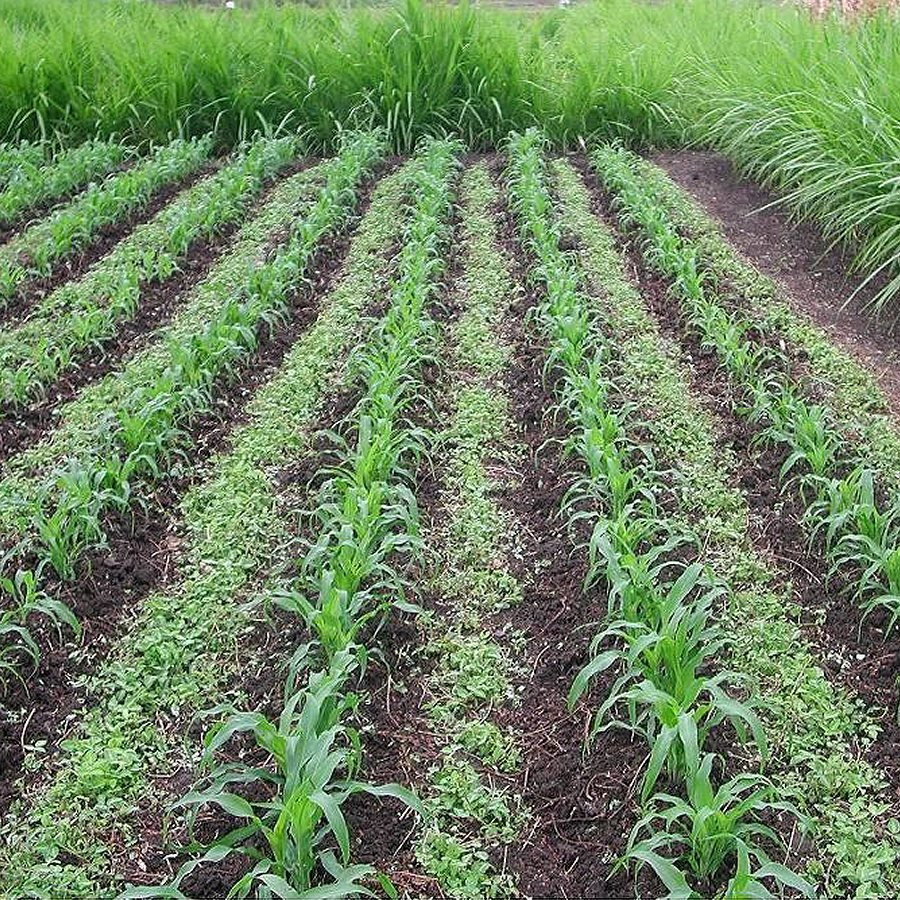 Boosting Maize Yields Sustainably