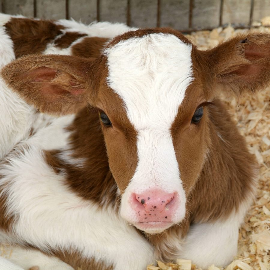 Analyzing Antibiotic Use in Animal Agriculture