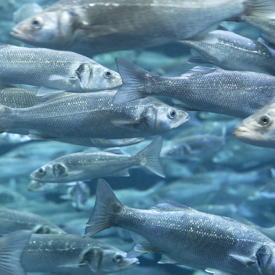 No Fish Tale: Feed of the Future