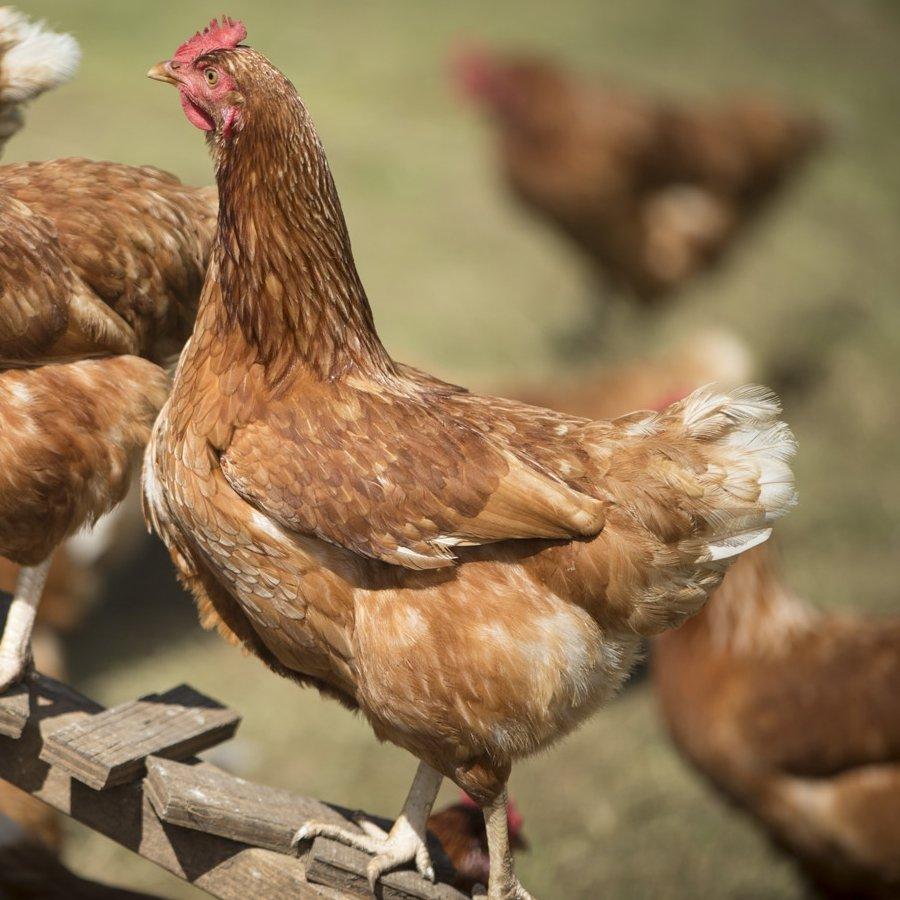 Recycling Poultry Litter for Fertile Fields