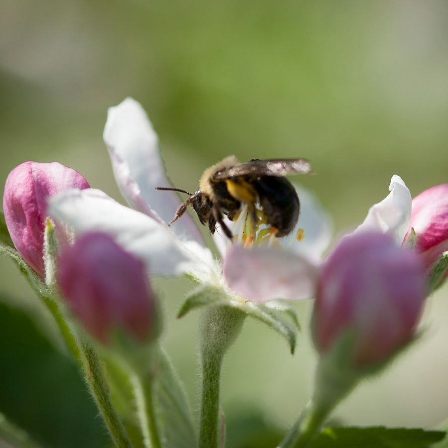 Sustainable Pollination Resources for New York Apple Farmers
