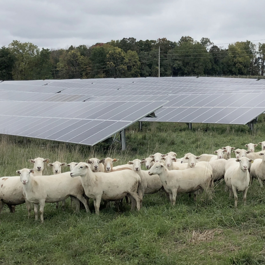 Grazing Sheep on Solar Array Sites to Boost Pollinator Habitat and Sequester Soil Carbon