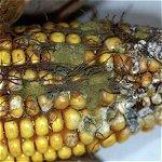 Understanding Aflatoxin Accumulation in Maize