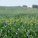 Increasing Corn Production while Reducing Fertilizer Pollution