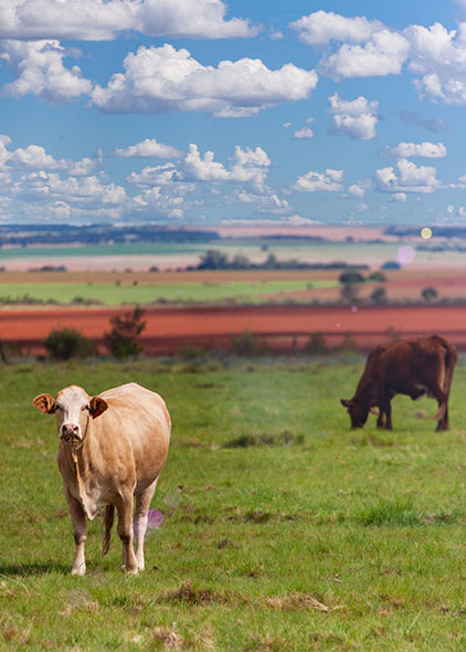 Botswana field with cows
