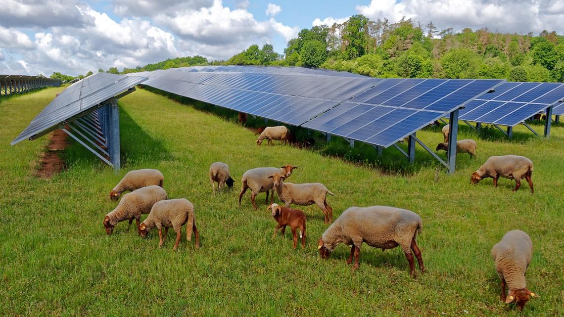 sheep grazing under solar panels