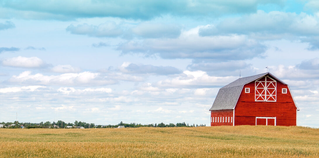 Large red barn in autumn wheat field.