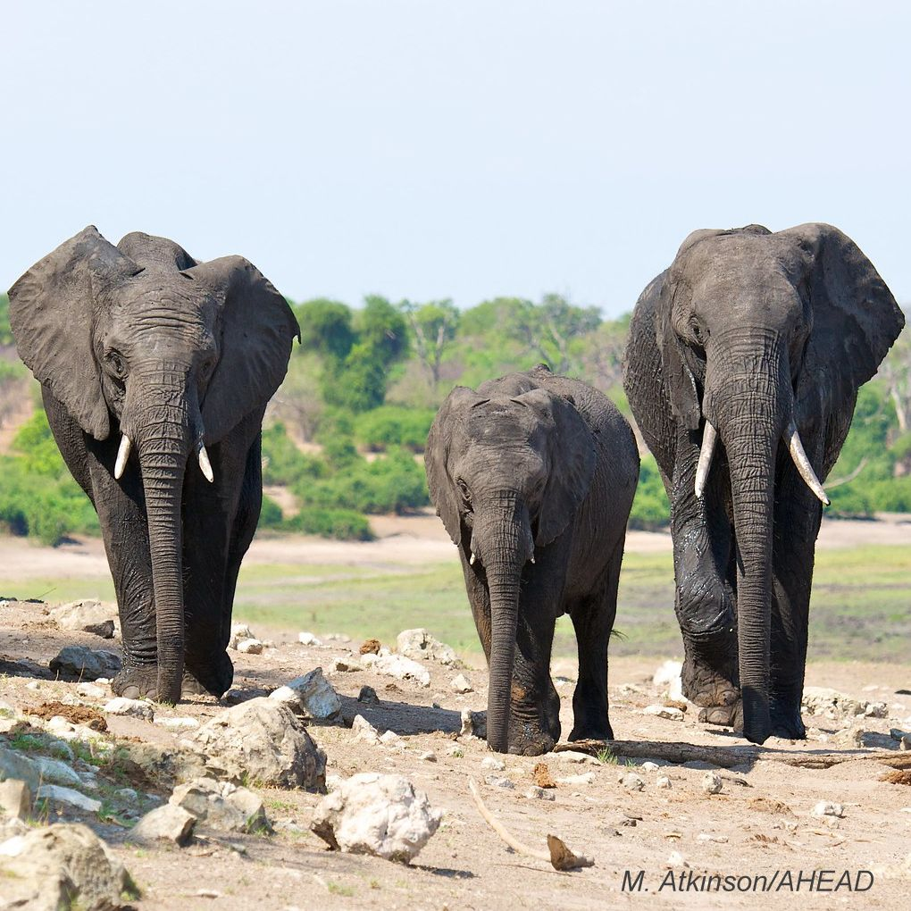 Elephants - photo credit: M. Atkinson/AHEAD